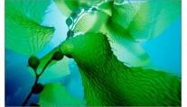 Сухие водоросли ламинарии
